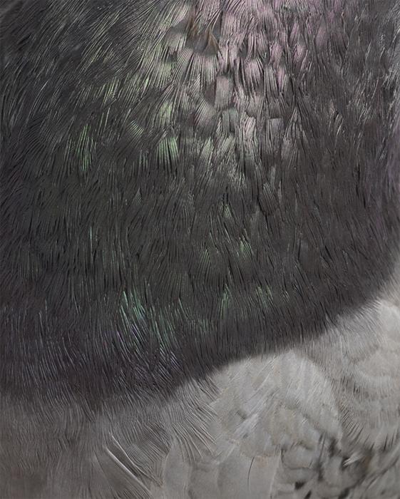 Columbidae VI, 2011